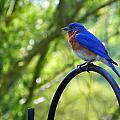 Mr Bluebird by Judy Wanamaker