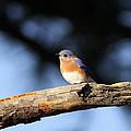 Mr. Bluebird by Travis Truelove