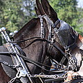Mule Days - Benson - A Pair Of Aces - Mules by Travis Truelove