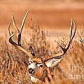 Mule Deer Buck Closeup by Earl Nelson