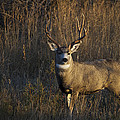 Mule Deer Buck by Tim Bjerk