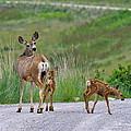 Mule Deer Doe And Twin Fawns by Karon Melillo DeVega