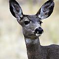 Mule Deer Doe by Steve McKinzie