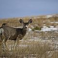 Mule Deer Doe by Tim Bjerk
