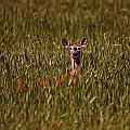Mule Deer In Wheat Field, Saskatchewan by Robert Postma