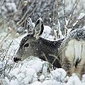 Mule Deer Odocoileus Hemionus In Snow by Philippe Henry