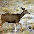 Mule Deer On The Move by Marty Koch