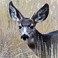 Mule Deer Spike by Steve McKinzie
