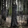 Muleshoe Trees Banff by Diane Dugas