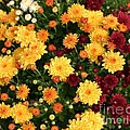 Multi Colored Mums by Living Color Photography Lorraine Lynch