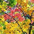 Multicolored Maple by Will Borden