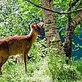 Muntjac Deer - Muntiacus Reevesi by Dawn OConnor