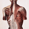 Muscles Of The Back by Sheila Terry
