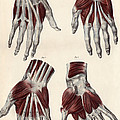 Muscles Of The Hand by Sheila Terry
