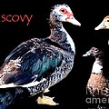Muscovy by Maria Urso