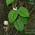 Mushroom Between The Leaves by Donna Brown