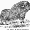 Musk Ox by Granger
