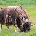 Musk Ox by Paul Fell
