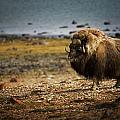 Muskox Ovibos Moschatusin The Northwest by Darren Greenwood