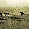 Mustangs by Betsy Knapp
