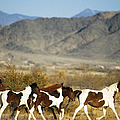 Mustangs by Mark Newman and Photo Researchers