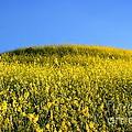Mustard Grass by Henrik Lehnerer