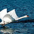 Mute Swan Gaining Momentum by Randall Branham