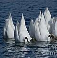 Mute Swan by Jack R Brock
