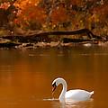 Mute Swan by Randall Branham