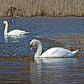 Mute Swans On A Cape Cod Pond - Cygnus Olor - Quissett  Massachusetts by Mother Nature