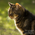My Cat by Angel Ciesniarska