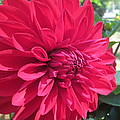my favorite Dahlia by Tina M Wenger