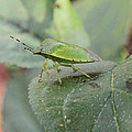 My Pretty Green Stink Bug by Doris Potter