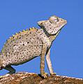 Namaqua Chameleon Chamaeleo Namaquensis by Ingo Arndt