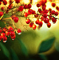 Nandina Sunrise by Rebecca Sherman
