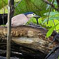 Nankeen Night Heron by Douglas Barnard