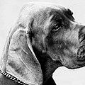Napoleon Mischief Dog Portrait  by Sumit Mehndiratta