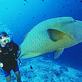 Napoleon Wrasse And Diver by Matthew Oldfield