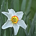 Narcissus In The Rain by Susan Capuano