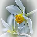 Narcissus by Rebecca Samler