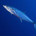 Narrow Barred Spanish Mackerel by Steve Jones