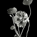Nasturtium In Black And White by Endre Balogh