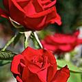 National Trust Rose by Susan Herber