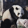 National Zoo Panda by Richard Bryce and Family