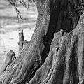Natural Cypress by Carolyn Marshall