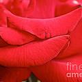 Natural Red Carpet by Susan Herber