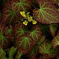 Nature's Still Life Of Epimedium by Mike Nellums