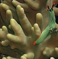 Nembrotha Kubaryana Nudibranch by Dave Lansley
