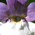 Nemesia From The Tapestry Mix by J McCombie