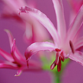 Nerine Flowers by Cristina Pedrazzini